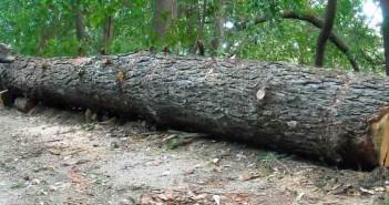 Big_Tree_4a