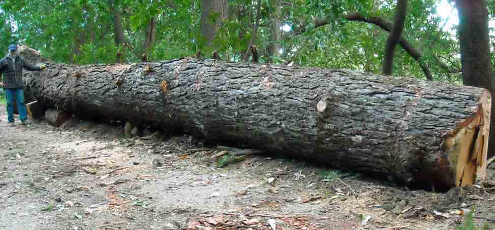 Bringing back another big log for What to do with tree logs